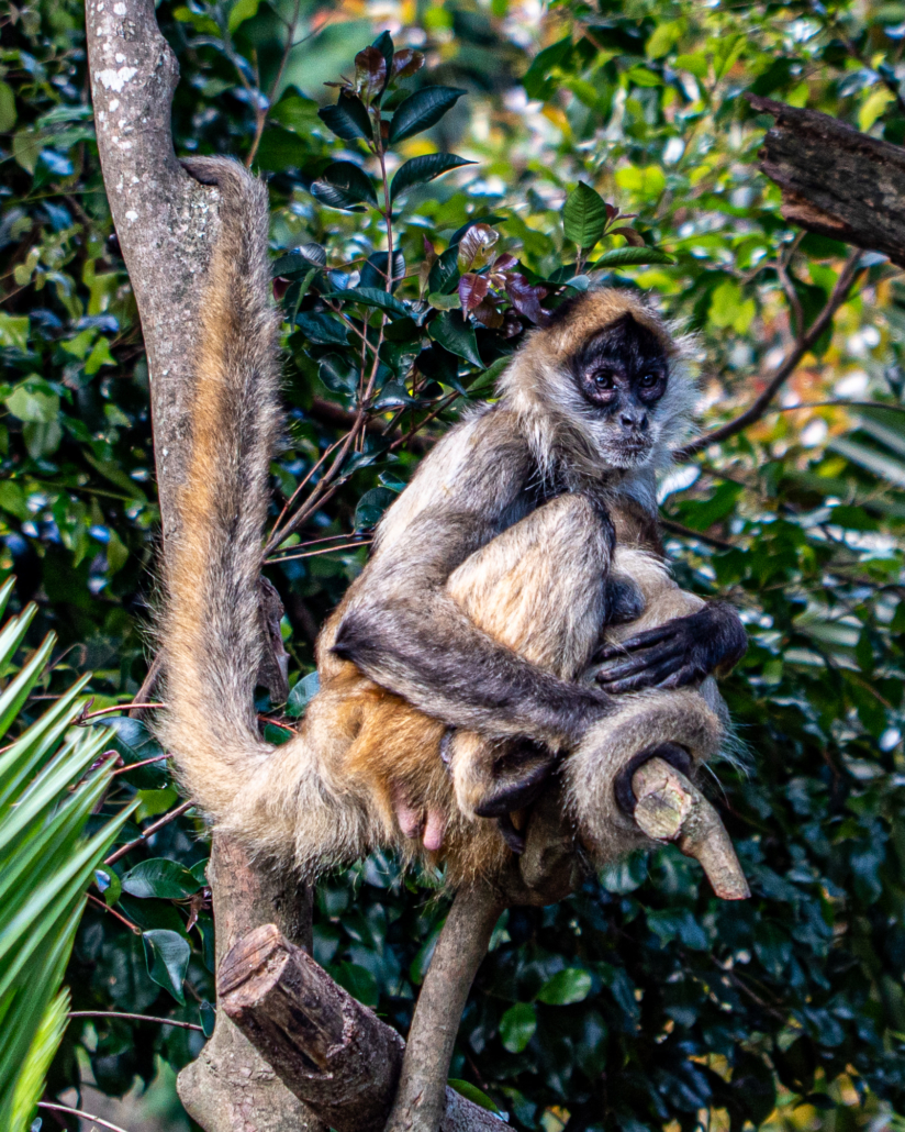 Mother Monkey