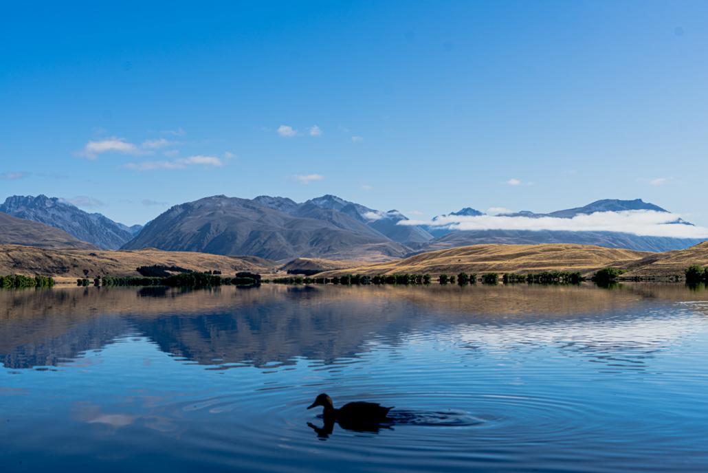 Lake Alexandrina Close Duck